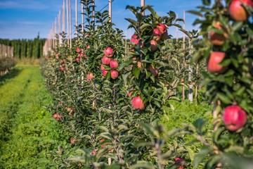 Obraz Sad jabłoni. Dojrzałe, czerwone jabłka - fototapety do salonu