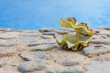 Shell of the tridacna mollusk. Red sea on background