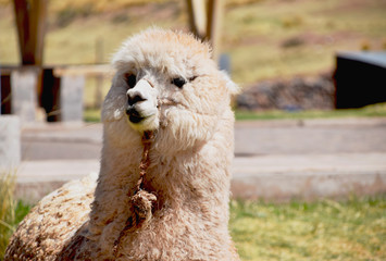Cute alpaca looking up