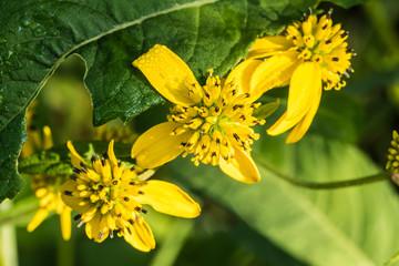 Green Headed Cone-flower in Sunny Meadow