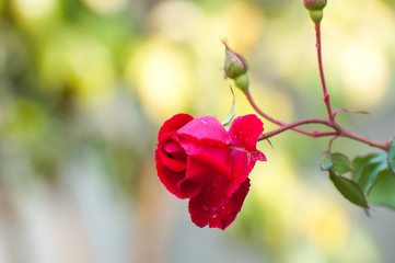 A wet red rose in the garden