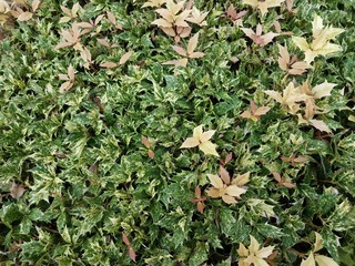 bush with sharp green and yellow leaves