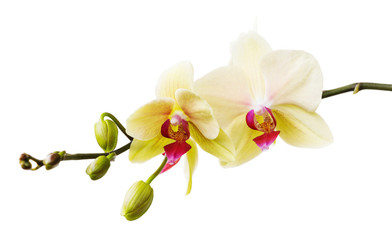Branch of the blossoming orchid of yellow color isolated on a white background close-up. Frontal view of flowers