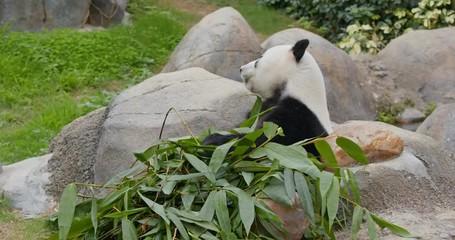 Fototapete - Panda eating bamboo roots