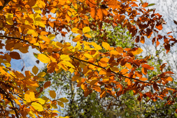 horizontal image with detail of branches with many yellow colored leaves photographed in the autumn month