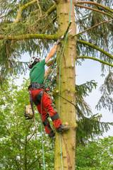 Dutch tree expert hangs and prunes in fir tree