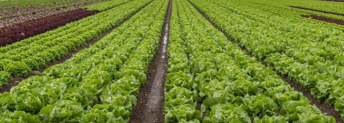 Salat auf dem Feld - Gemüsefeld - Reihen Kopfsalat Fotoväggar