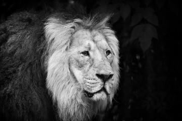 Male lion portrait black and white close-up