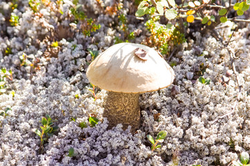 Forest mushrooms. Edible mushrooms in the forest litter