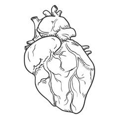 Vector Sketch Human Hearts. Anatomical Organ Illustration.