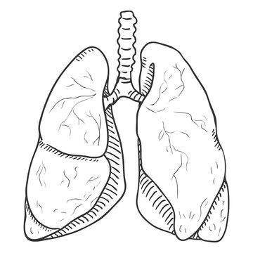 Vector Sketch Human Lungs . Anatomical Organ Illustration.