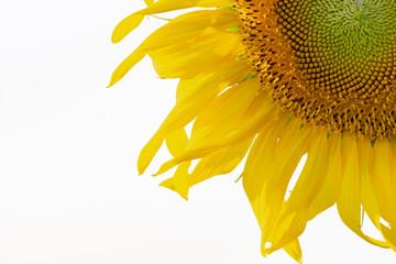 Sunflower (close up)