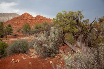 Juniper and Rabbit Bush, Southern Utah