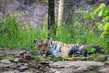 A female tigress resting near a waterhole inside Pench tiger reserve during a wildlife safari