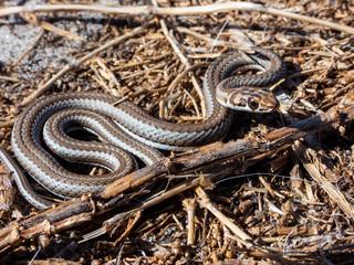 Karoo Sand Snake (Psammophis notostictus)