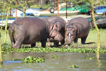 Hippos which standing very close to a to a storage place for boats at Lake Naivasha
