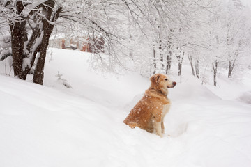 Dog sitting in snow and waiting for his master