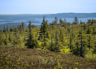 Summer landscape with spruce trees in the wilderness of Riisitunturi national park, a mountain in Lapland in Finland. A distant lake on the background.