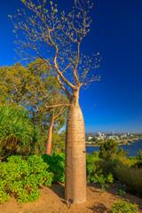 Spoed Fotobehang Oceanië Baobab tree at Kings Park and Botanical Garden in Perth, Western Australia. Blue sky. Perth skyline aerial view. Vertical shot.