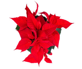 Red poinsettia flower isolated on white background