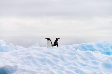 ANTARCTICA, Gentoo Penguin