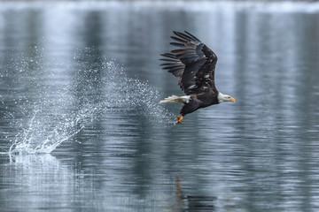 Bald eagle makes splash catching a fish.