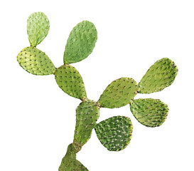 Fototapeta cactus isolated on white background obraz