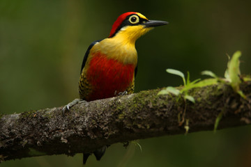 colorful woodpecker on a branch