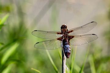 Libellen Dragonflys Damselfys