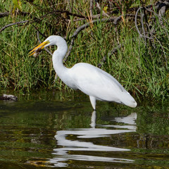 Wall Mural - Great Egret