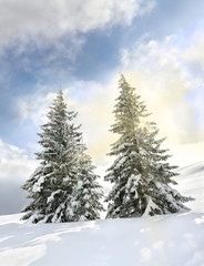 Beautiful winter landscape of mountains in fir tree forest covered hoarfrost and in snow in sun light and glade in snow. Carpathian mountains