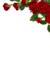 Beautiful red roses and buds on white background with space for text. Top view, flat lay