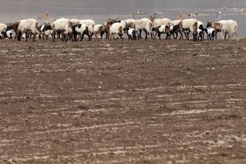 Stado owiec w Chinach