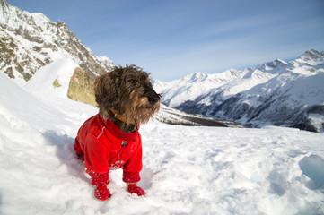 Cane bassotto a pelo ruvido in montagna