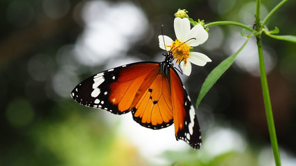Blurred image, butterfly on wild flower in morning light with green nature   background