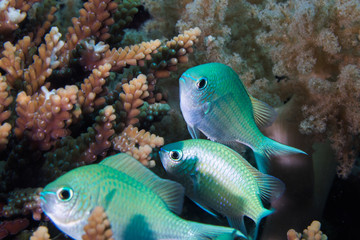 Close up of Blue-green Chromis fish - Blue Pullerfish (Chromis Viridis) small fish hiding on the coral reef.