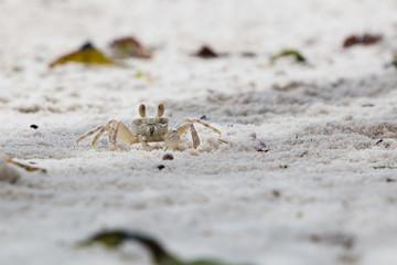 A small Ghost Crab running on the beach in Mafia Island, Tanzania.