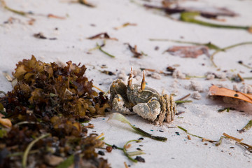 A Horned ghost crab (Ocypode ceratophthalma) sitting on the beach.