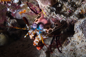 A close up of a Mantis Shrimp (Odontodactylus Scyllarus) peering out from under a rock on the reef.
