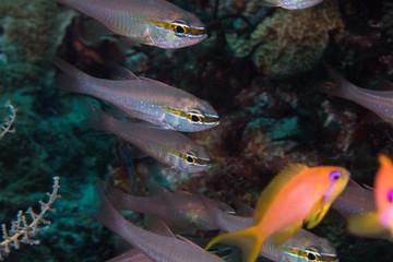 Close up of Short-tooth Cardinalfish -Goldbelly Cardinalfish (Ostorhinchus apogonoides) on the coral reef.