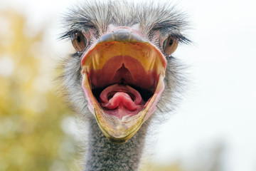 Photo sur Aluminium Autruche Angry Ostrich Close up portrait, Close up ostrich head (Struthio camelus)