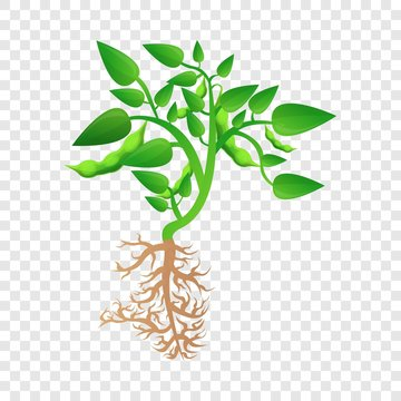 Mature soybean plant icon. Cartoon of mature soybean plant vector icon for web design for web design