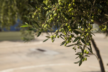 Olive tree in an olive orchard. Growing olive trees in agriculture. Fruit olives on a tree in the garden.