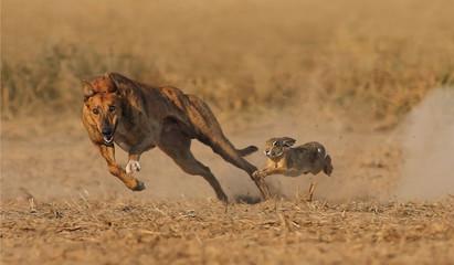 Poster Hyène Greyhound Dog Race With Rabbit