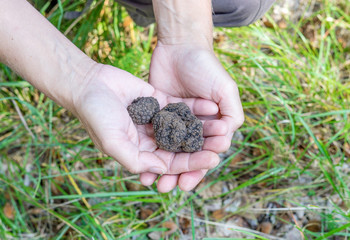 Hands with brown truffles in the forest