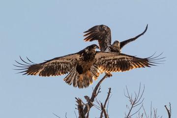 Bald eagle juveniles at tree top perch