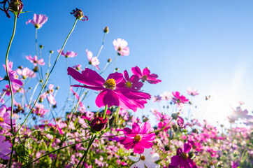 cosmos flowers on background of blue sky