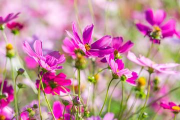 Spoed Foto op Canvas Roze purple cosmos flowers in the garden