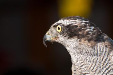 A closeup of the Eagle bird