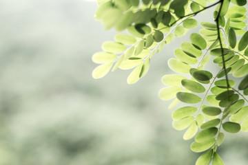 Dalbergia leaves / dreamy tender leaves background material